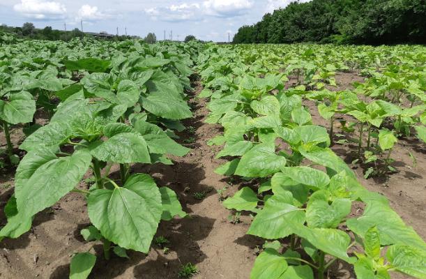 Megoldás a herbicid fitotoxicitással szemben – címlap