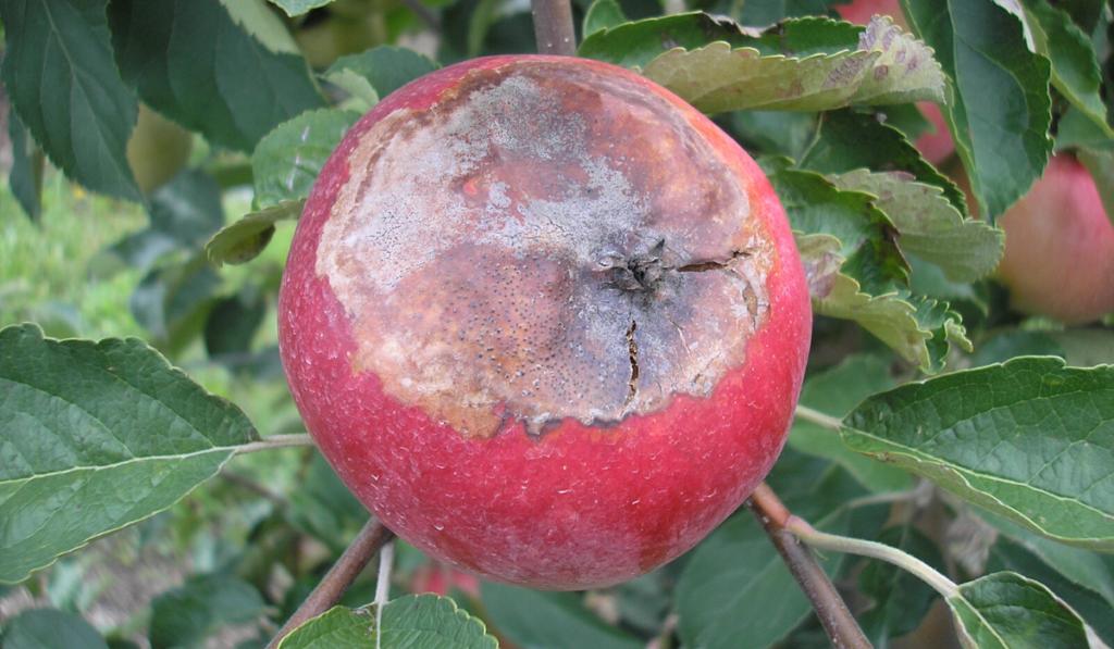 Napégés tünete almán