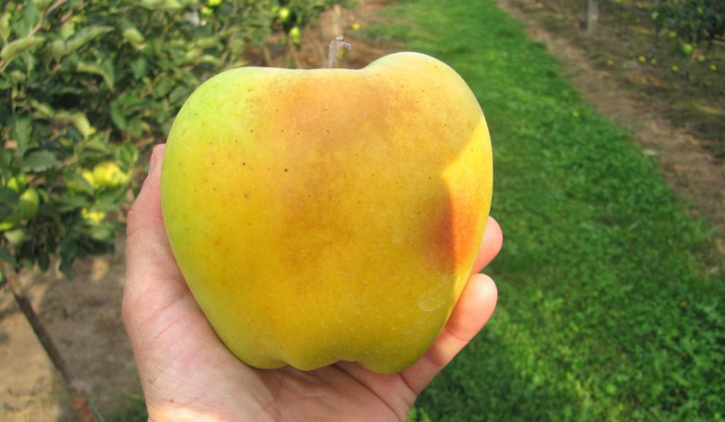A nagyobb méretű almákban még jobban felhígul a kalciumkoncentráció